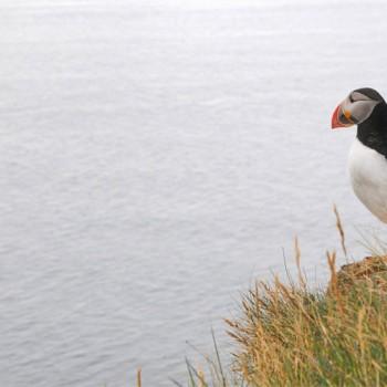 Fotografie: Papageientaucher, Island ©Gabriele Stautner, ARTIFOX